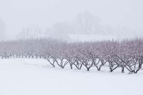 Snowy trees at Wickham Farm in Cutchogue in February. (Credit: Katharine Schroeder)
