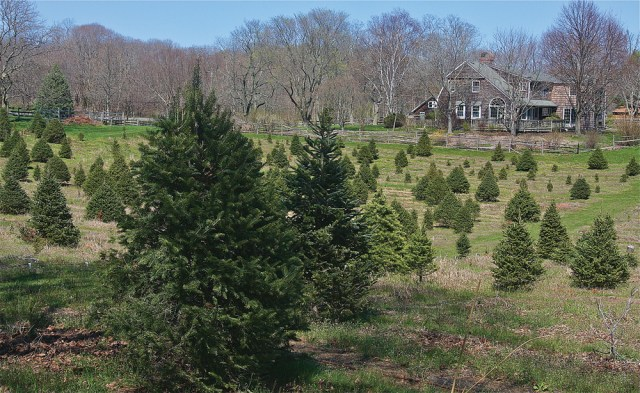 Gene Davion's Mattituck home is surround by 5 acres of Christmas trees,  which he opened to the public 18 years ago as a cut-your-own-tree farm. (Credit: Barbaraellen Koch)