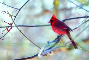 A cardinal creates a splash of color on a winter day at Inlet Pond County Park in Greenport. See other forms of North Fork fauna during Saturday's winter wildlife outing sponsored by North Fork Audubon Society.