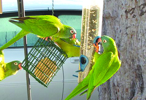 A noisy group of blue-crowned parakeets squabbles at the feeder.