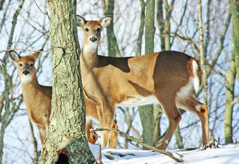 Deer on the East End. (Credit: James Colligan)