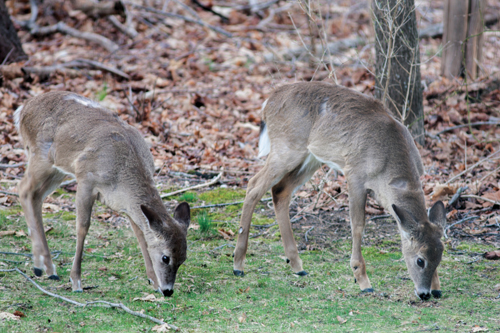 Two deer grazing behind a Cutchogue. (Credit: Katharine Schroeder, file)