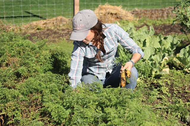 Lucy Senesac of Sang Lee Farms picks carrots Monday at Southold Elementary School's organic garden. She's helping local schools collaborate with farmers on school garden curriculum. (Credit: Jen Nuzzo)
