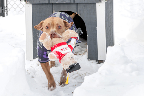 Chester shown with a toy after a snow storm this winter. (Credit: Katharine Schroeder)