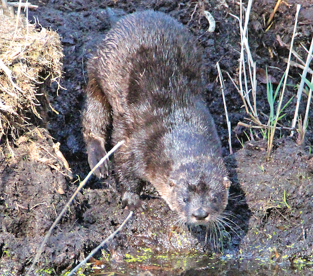 Photo caption: A river otter was spotted at Marion Lake in East Marion.  (Carolyn Bunn photo)