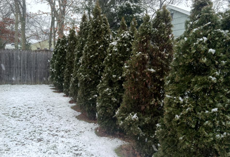 MICHAEL WHITE PHOTO | A string of arborvitae edged with wet snow.