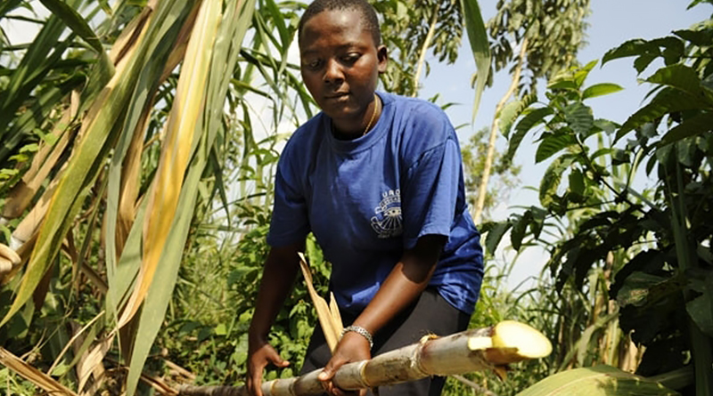 African Country Uses Sugarcane to Produce a Quarter of Its Electricity