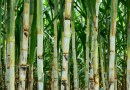 """Biological Microbes"": New Environmentally-Friendly Pesticide for Sugarcane Farm Owners"