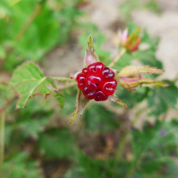 red salmonberry
