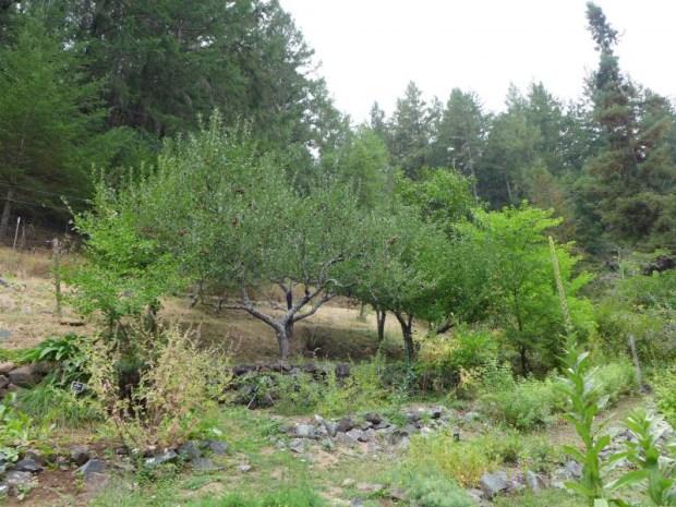 apple tree at California School of Herbalism Studies