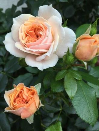 gardenofroses2