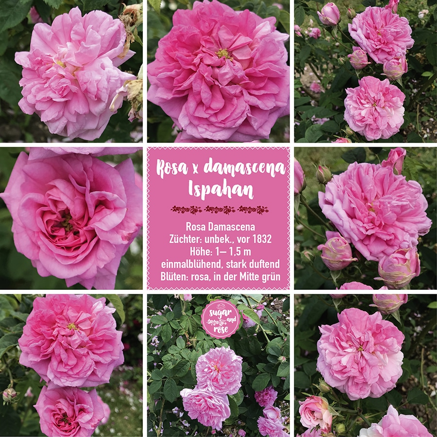 Rosa x damascena Ispahan