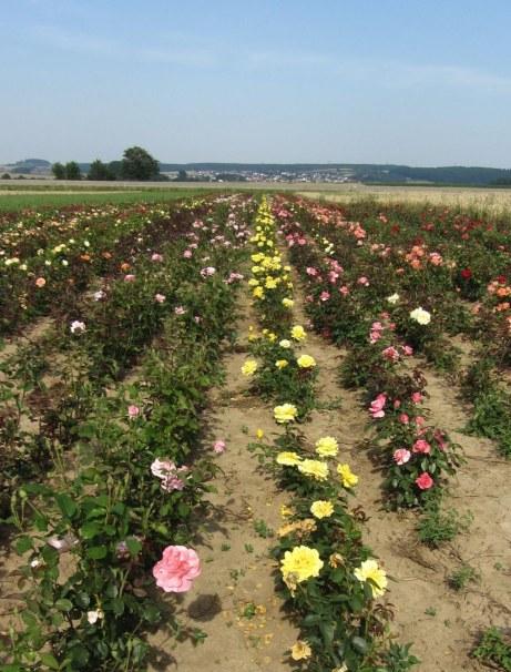 rosen-steinfurth1
