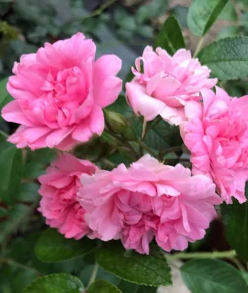 Pink-Grootendorst-2