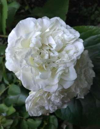 White-Meidiland-2
