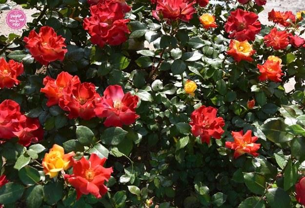 Rose Krambambuli, Persien und Rosen