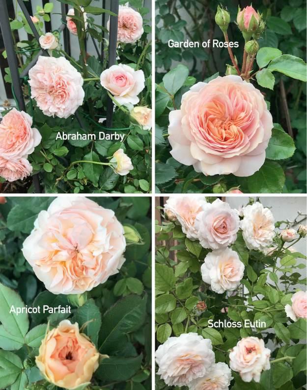 Apricotfarbene Rosen: links oben die englische Rose Abraham Darby, daneben Garden of Roses, darunter die apricotfarbenen Blüten der Austinrose Apricot Parfait und die überreichlich blühende Rose Schloss Eutin, alle im Garten fotografiert.