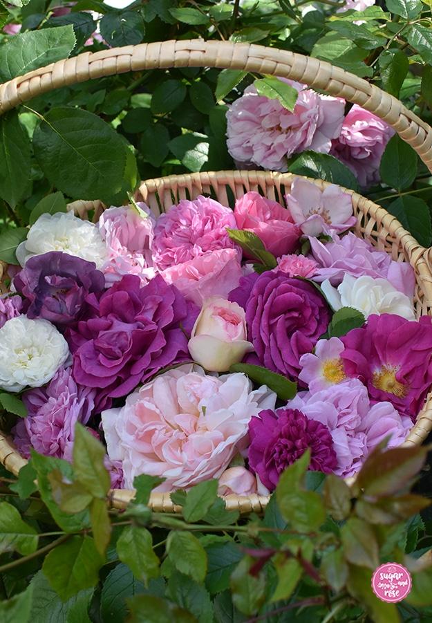 Ein Weidenkorb gefüllt mit weißen, hellrosa, pinken bis lilafarbenen Rosen inmitten eines Rosenstockes