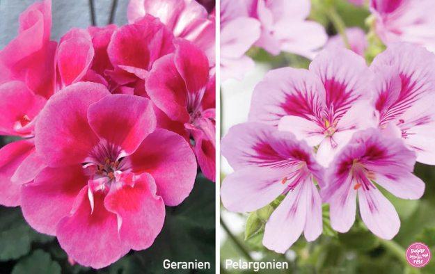 Geranie und Pelargonie gegenübergestellt: links die pinkfarbenen Geranienblüten, rechts zart rosafarbene Pelargonienblüten