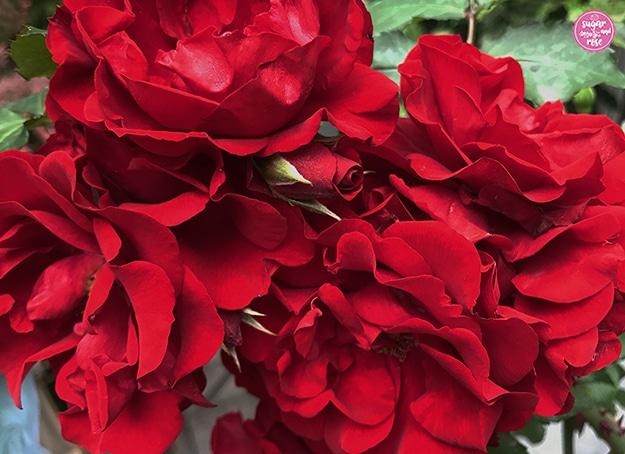 Kräftig rote blüten der Rose Roter Korsar.