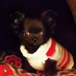 Wisconsin S Sugar Baby Chihuahuas