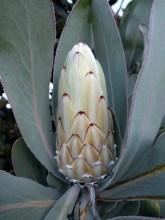 Meet the proteas: Protea lorifolia