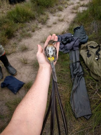 Cape sugarbird doing a tonic immobility test.