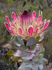 Protea eximia. Isn't it awesome!