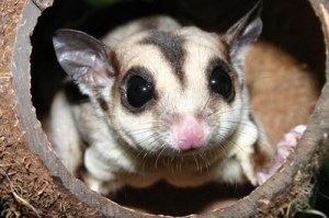 How Long Do Sugar Gliders Live?