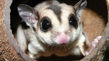 sugar glider lifespan
