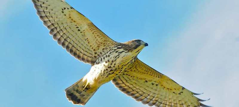 Juvenile Broad-winged Hawk over Hawk Ridge by Karl Bardon