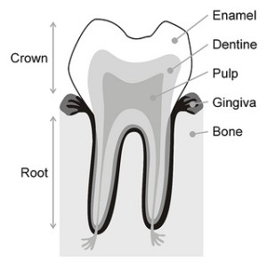 Parts of a tooth gallery