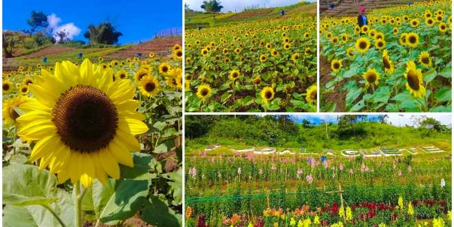 sunflowergarden-dalaguete