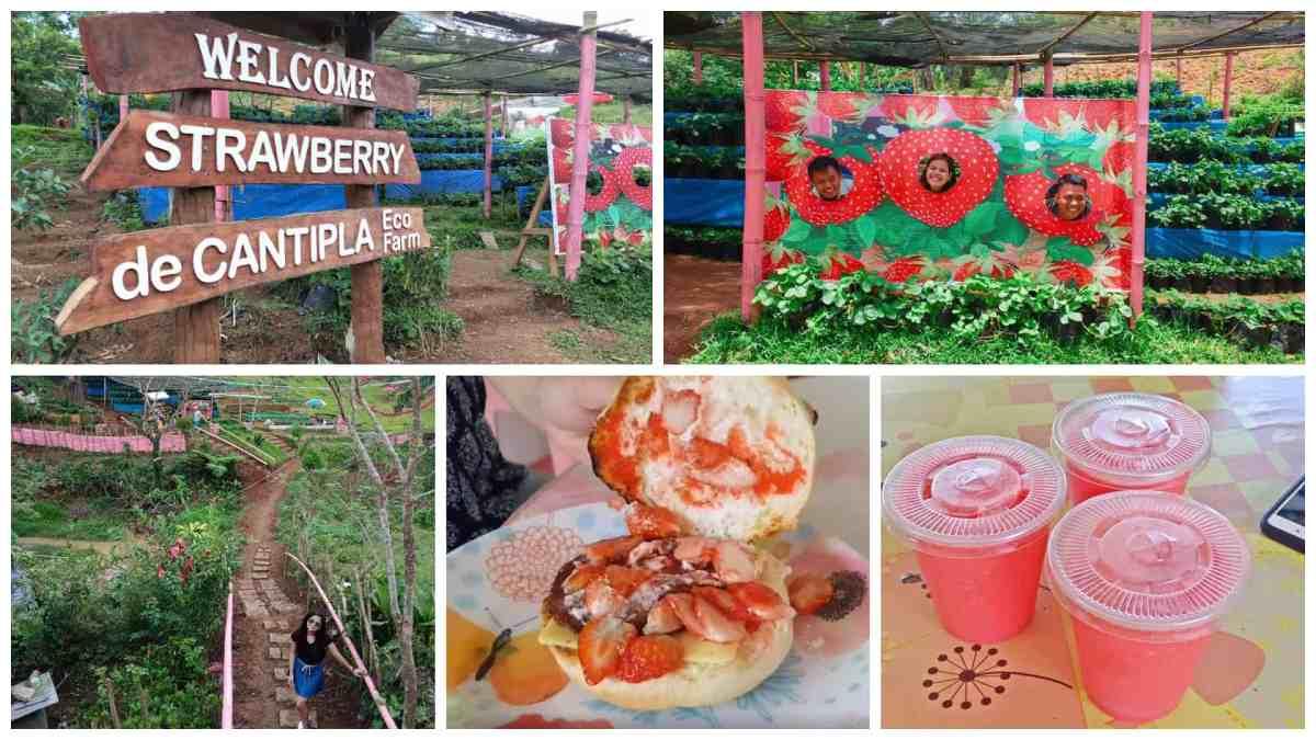 LOOK: Strawberry de Cantipla Eco Farm in Cebu City