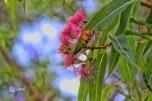 Gum Nuts in Flower