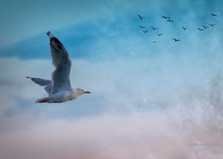 Sea Gull, Gold Coast, Australia