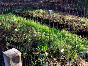 Fall Vegetable beds
