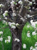 Blooming Pear