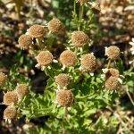 Feverfew seed heads
