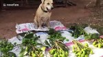 【犬猫動物動画まとめ】Cute dog sells mangoes at market