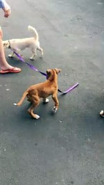 【犬猫動物動画まとめ】Boxer Pup Takes New Friend for a Walk