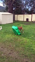 【犬猫動物動画まとめ】Rambunctious Boxer Playfully Bounces on Toy