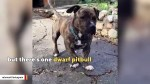 【犬猫動物動画まとめ】Dwarf Pit 'Biggie Smalls' May Just Be The Perfect Dog