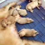 【犬猫動物動画まとめ】Golden Retriever Born With Tail On Its Head Is The Happiest Unicorn Puppy Ever