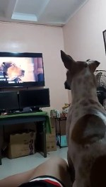 【犬猫動物動画まとめ】Pet Dog Watches TV Intensely Like Human