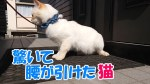 驚きすぎて腰が引けた猫コタロー Cats who is too surprised to sit down Kotaro