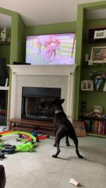【犬猫動物動画まとめ】Dog Barks at TV While Looking at Animals on Pets Show