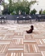 【犬猫動物動画まとめ】Cocker Spaniel Flops to Floor After Failing to Catch Ball Thrown by Owner
