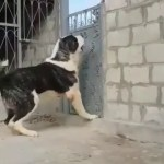 【犬猫動物動画まとめ】DEV ALABAY COBAN KOPEGi - GiANT ALABAI SHEPHERD DOG
