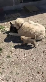 【犬猫動物動画まとめ】KAFKAS COBAN KOPEKLERi ve YAVRULARI - CAUCASiAN SHEPHERD DOG and PUPPiES